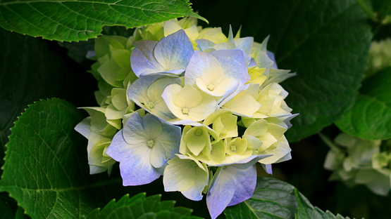upload/54635/20181219/Hydrangeas.jpg