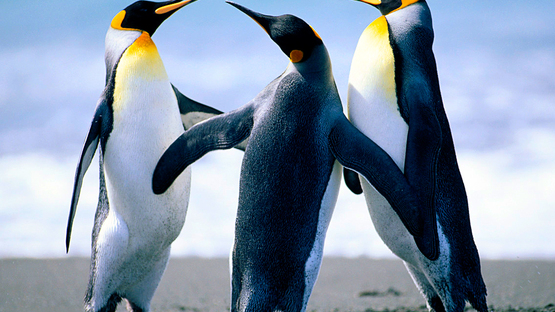 upload/54635/20181219/Penguins.jpg